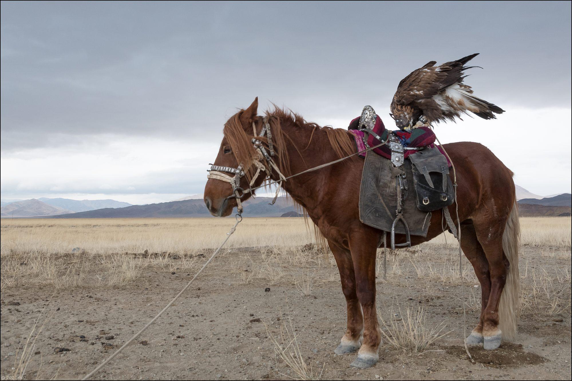 Mongolie-2017- aigle-cheval