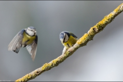 mesange-vole-deux