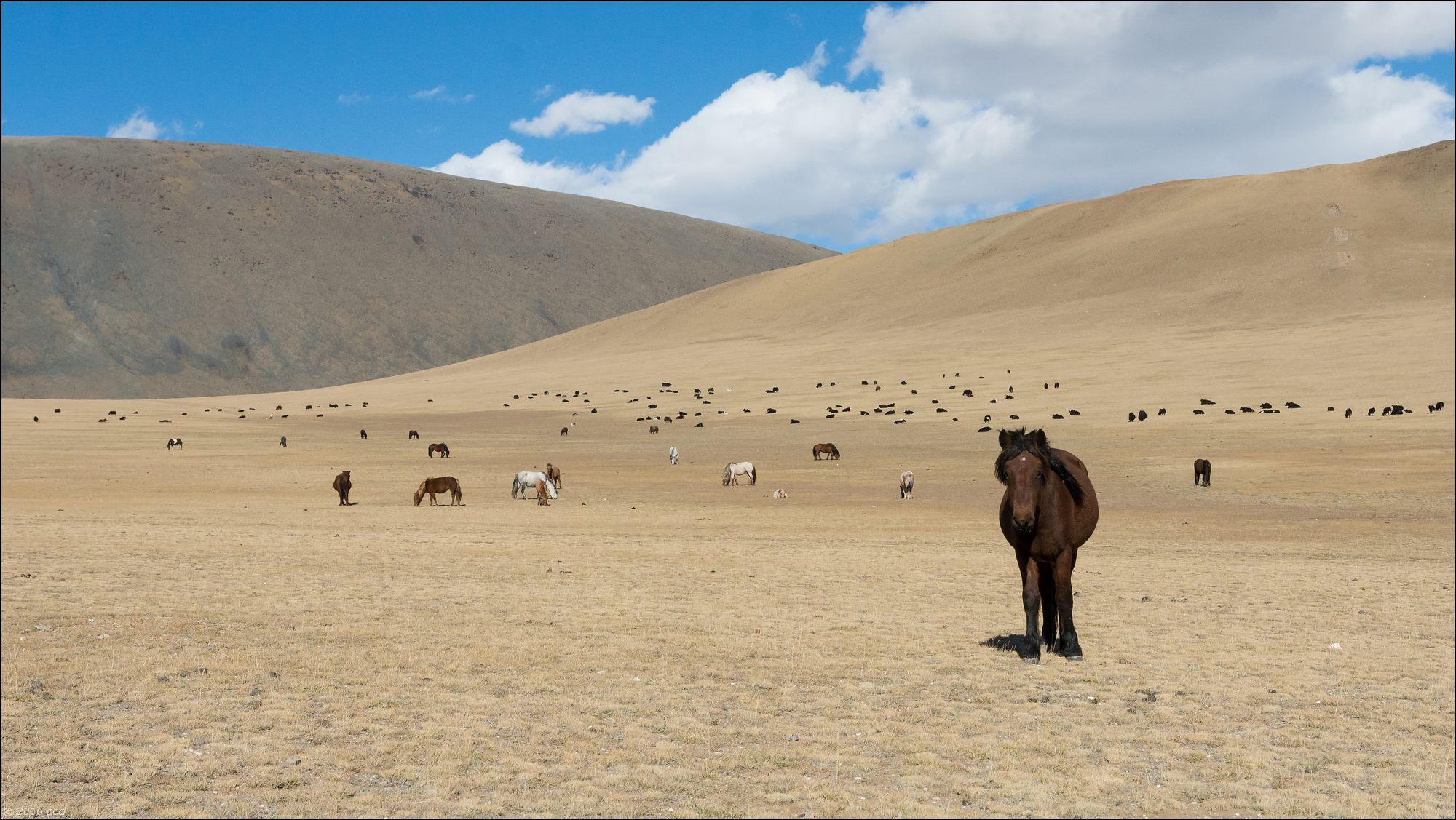 mongolie-2016-paysageyakchevaux
